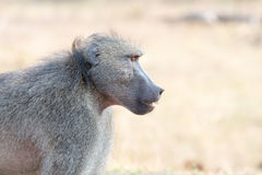 Highkey baboon portrait with soft background. A highkey portrait of an adult baboon with very soft blurred background royalty free stock image
