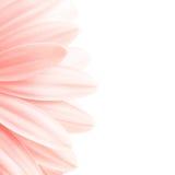 Highkey rosado de los pétalos Imagen de archivo libre de regalías