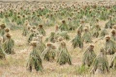 Highland barley Royalty Free Stock Photography