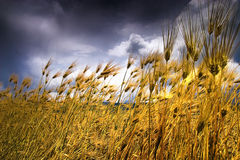 Highland barley Stock Images