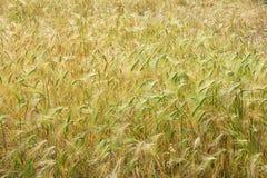 Highland barley Stock Photo