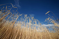 Highland barley with blue sky Royalty Free Stock Photography