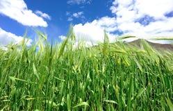 Highland barley crops Royalty Free Stock Photo