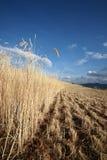 Highland Barley Farmland In Dongchuan Of China Royalty Free Stock Images