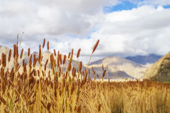 Highland barley. The highland barley on the qinghai-tibet plateau is ripe stock photos