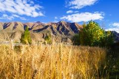 Highland barley Stock Images