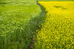 highland barley and rape flower Royalty Free Stock Photography