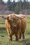 Highland Bull. Kyloe Highland Bull Cow Cattle Scottish Breed Royalty Free Stock Images