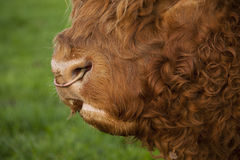 Highland Bull. With a ring through his nose Stock Photo