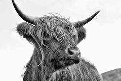Highland Bull BW. A highland bull close up in Black and white stock photos