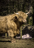 Highland bull. Head and forequarters of Highland Bull Royalty Free Stock Image