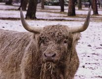 Highland Bull royalty free stock photos