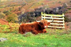 Highland Bull on Low Pike Royalty Free Stock Photos