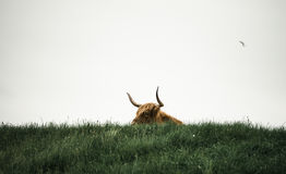 Highland Bull in Lush Green Pasture Royalty Free Stock Images
