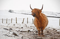Highland bull in snow Royalty Free Stock Photo
