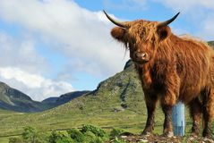 Highland Bull Royalty Free Stock Photos