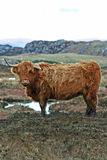 Highland Bull2 Stock Photo