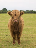 Highland bullock. Young male highland cattle in field stock photography