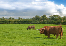 Highland Bulls Stock Images
