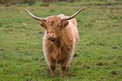 highland bydła obraz royalty free