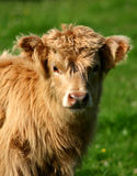 Highland calf Royalty Free Stock Photos