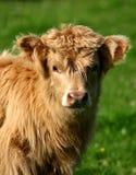 Highland calf royalty free stock photos