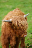 Highland Calf Stock Photography