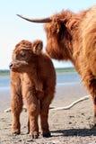highland calf Royalty Free Stock Image