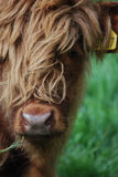Highland calf Royalty Free Stock Photography