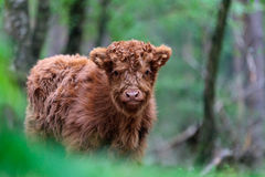 Highland Calf At The Veluwe In The Netherlands Royalty Free Stock Image