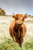 Highland calf. A beautiful highland calf that I found on Dartmoor national park stock image