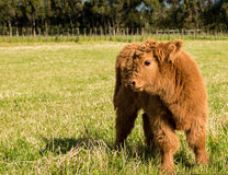 Highland Calf Stock Photography