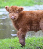 Highland calf lifting front leg Royalty Free Stock Image