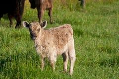 Highland calf Royalty Free Stock Photo