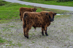 Highland calf Royalty Free Stock Images