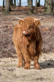 Highland calf Royalty Free Stock Image