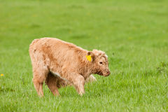Highland calf unsteady on young legs Royalty Free Stock Photography