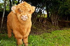 Highland calf is watching the viewer Stock Photo