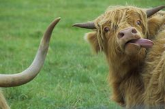 Free Highland Cattle Stock Images - 1022134