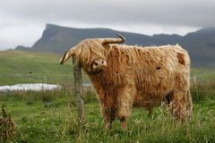 Free Highland Cattle Royalty Free Stock Photo - 1220145