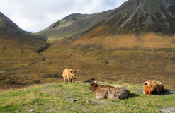 Highland cattle. Scotland's native breed of cattle Royalty Free Stock Photography
