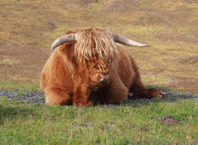 Highland cattle. Scotland's native breed of cattle Royalty Free Stock Photo