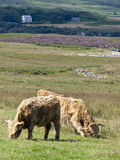 Highland cattle. Two highland cattle at countryside with a farm in the background Royalty Free Stock Photos