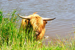 Highland cattle. Coming out of the water Royalty Free Stock Photos