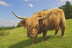 Highland Cattle. Close up photo of a highland cow on a sloping grassy hillside facing toward the viewer Royalty Free Stock Images