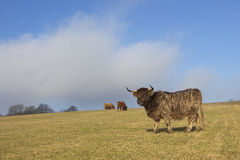 Highland cattle 2 Stock Image