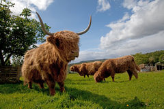 Highland cattle Royalty Free Stock Photography