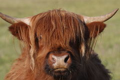 Highland cattle. Looking into the camera Royalty Free Stock Photography