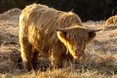 Highland Cattle. Eating lots Hay in the Sunshine Royalty Free Stock Images