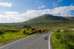 Free Highland Cattle Royalty Free Stock Images - 24405909